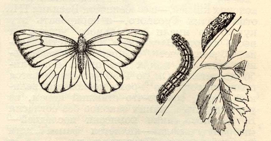 Боярышница - Aporia crataegi бабочка и гусеница, описание