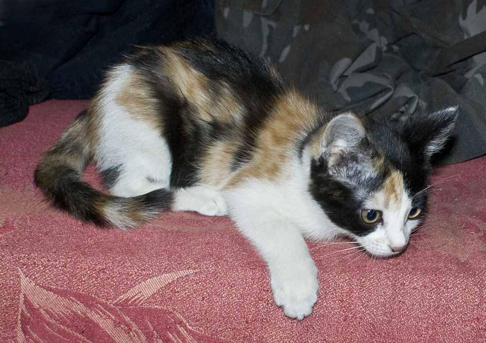 Трехцветный котенок устал играть и собирается поспать