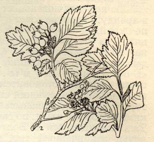 Боярышник - Crataegus, описание, ветка и плоды