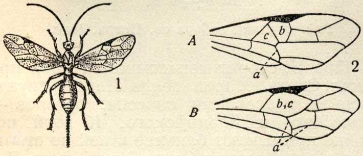 Бракониды - Braconidae, семейство перепончатокрылых