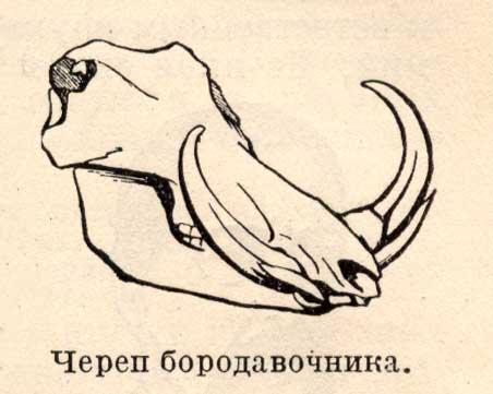 череп Бородавочника - Phacochoerus обзор и данные