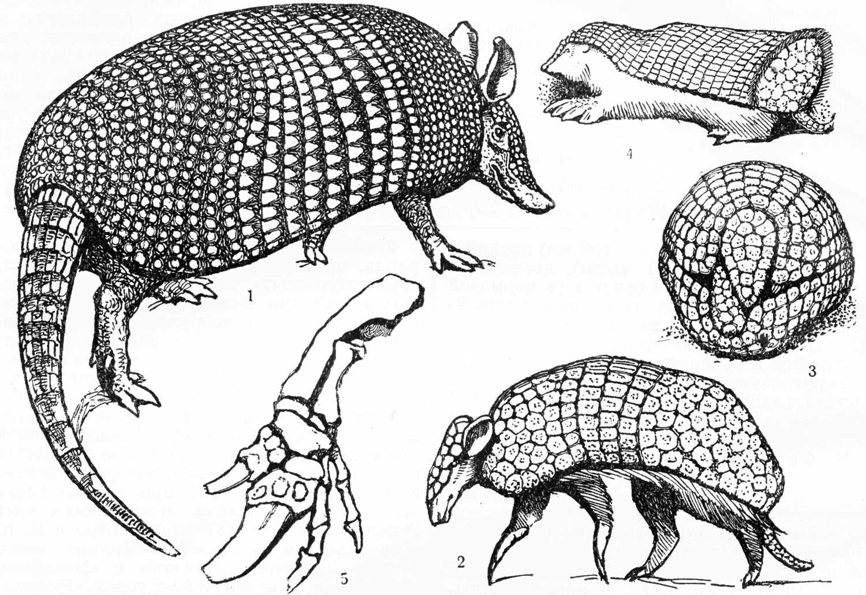 Броненосцы или армадиллы описание млекопитающих