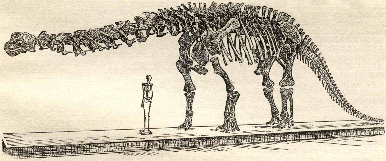 Бронтозавр - Brontosaurus реконструкция скелета, cравнение с человеком