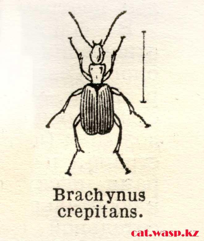 Brachynus crepitans - описание жуков бомбардиров