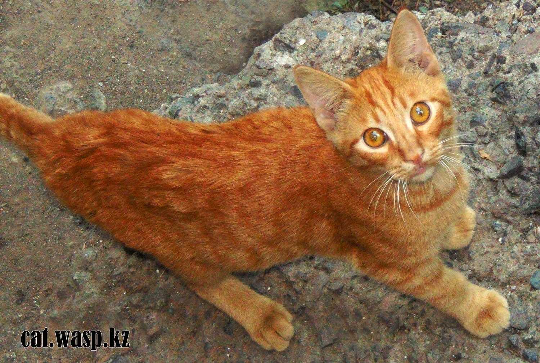 кот Марсик рыжий, потерялся и нашелся, Алматы