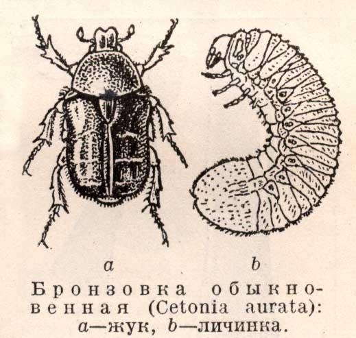Бронзовки - Cetonia жуки красивые, вредные или полезные?