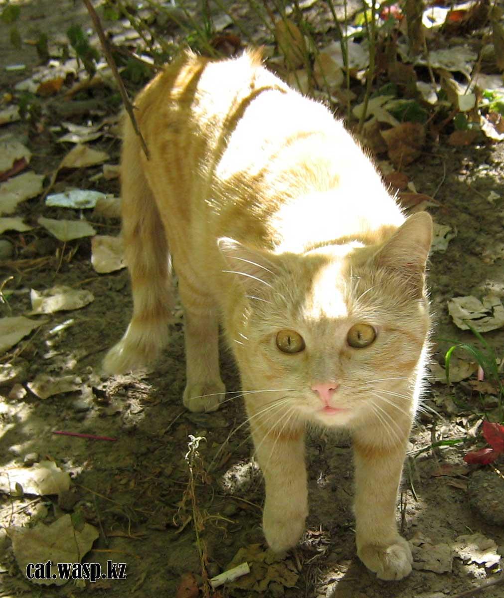 найден рыжий кот в Алматы, кто потерял