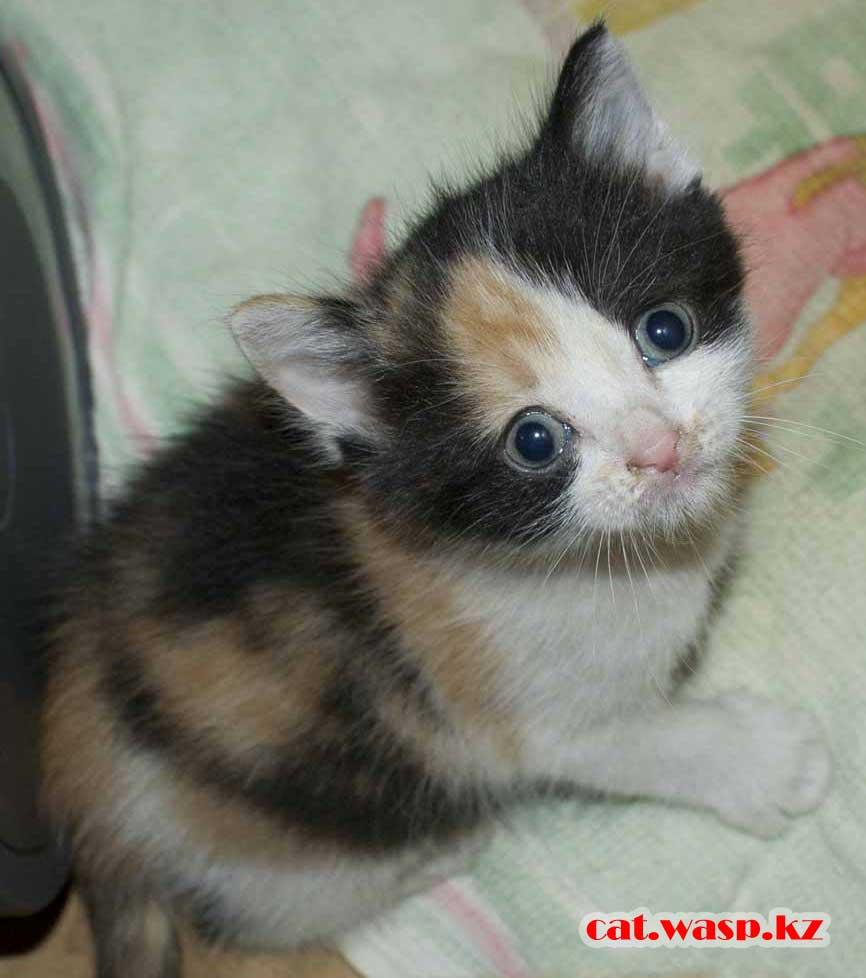 трехцветный котенок, подкидыш от нехороших людей