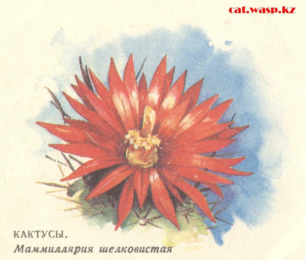 кактусы. Маммиллярия шелковистая, почта СССР