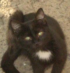 Кошка черная с галстуком белым