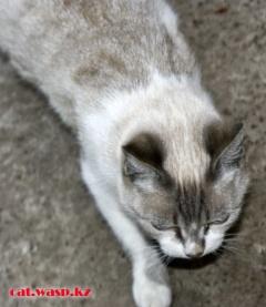 Бурмилла - давным давно прибившаяся домашняя породистая кошка... красавица, удивительная!