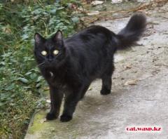 Черный пушистый котик прибился в сентябре... домашний - потерялся или выпускают? Алматы, Орбита-2, если кто потерял - дайте знать!