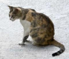 Кошки Алматы - кошка Бурмилёнок